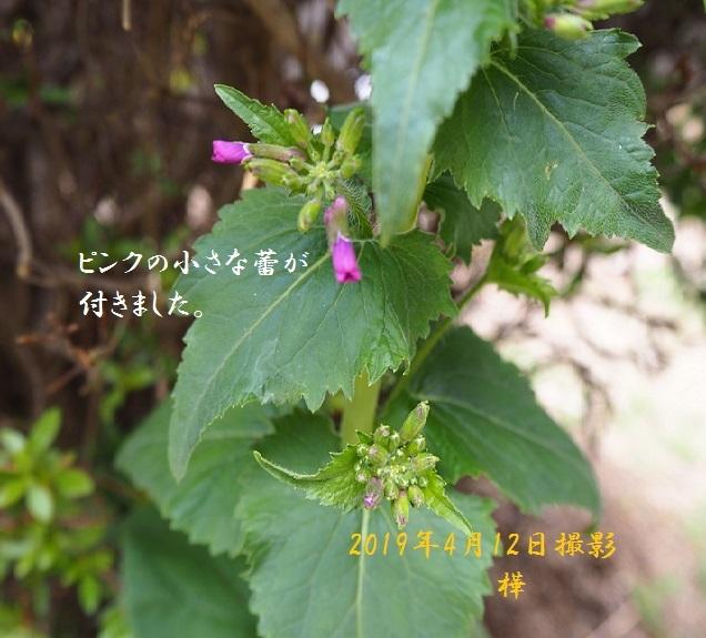 2019年4月12日名前の分からぬお花3