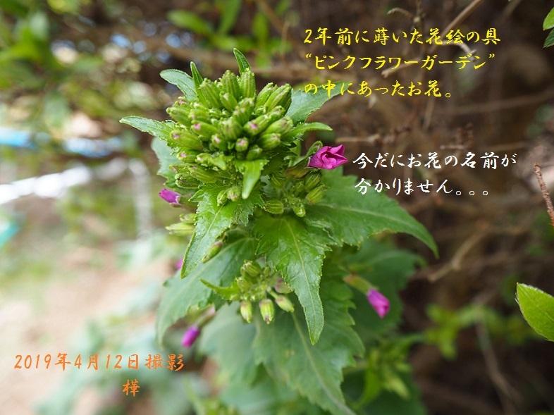 2019年4月12日名前の分からぬお花4