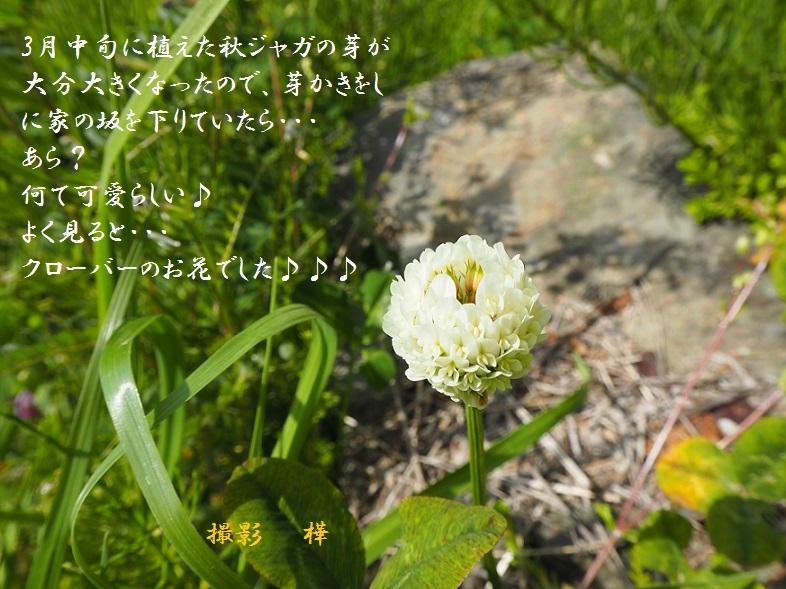 2019年4月12日クローバーお花1