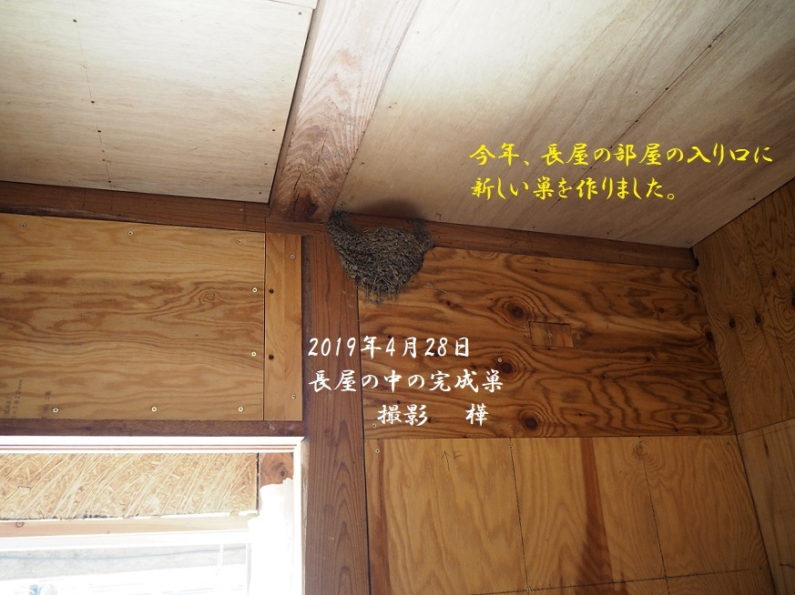 ①2019年4月28日撮影・長屋巣完成 - pe