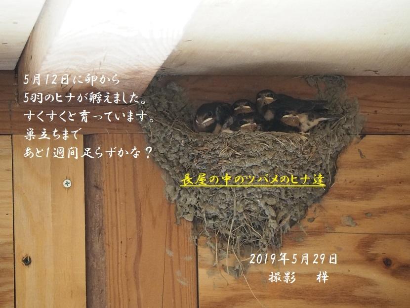 ③2019年5月29日撮影・長屋ツバメひな - pe