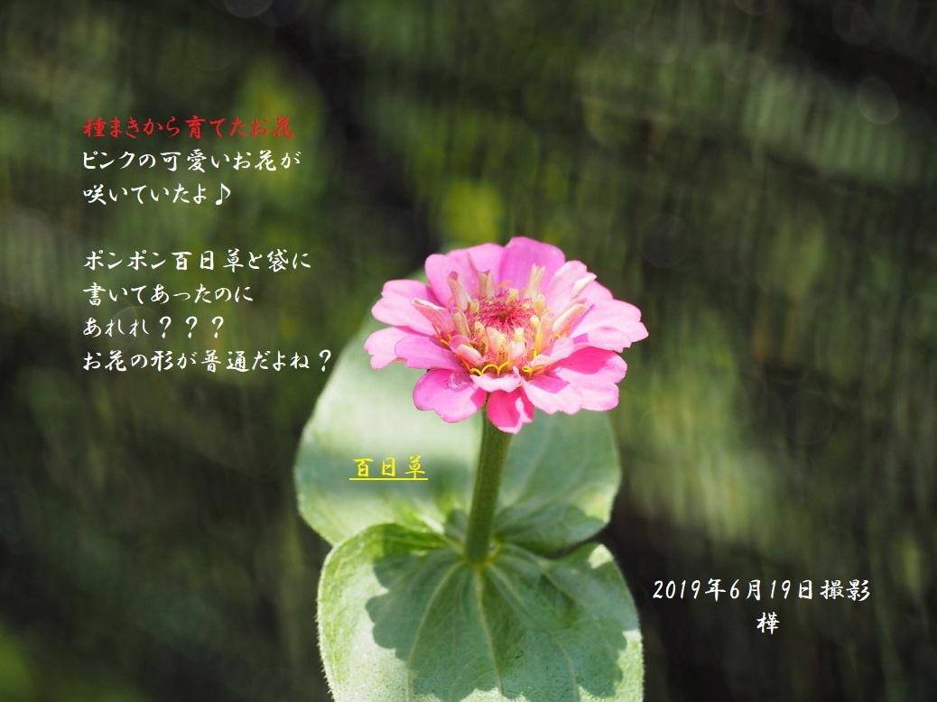 2019年6月19日百日草pe