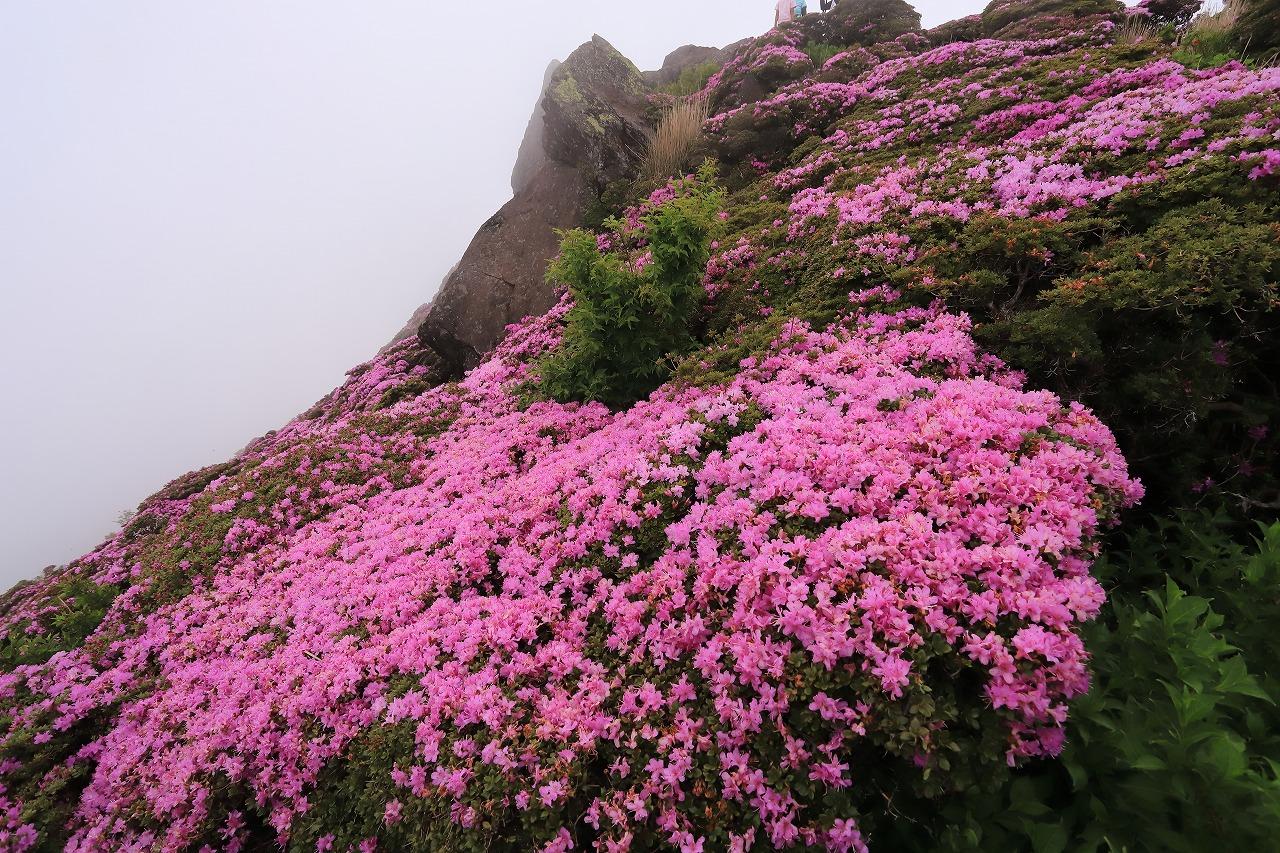 平治岳ミヤマキリシマIMG_2703