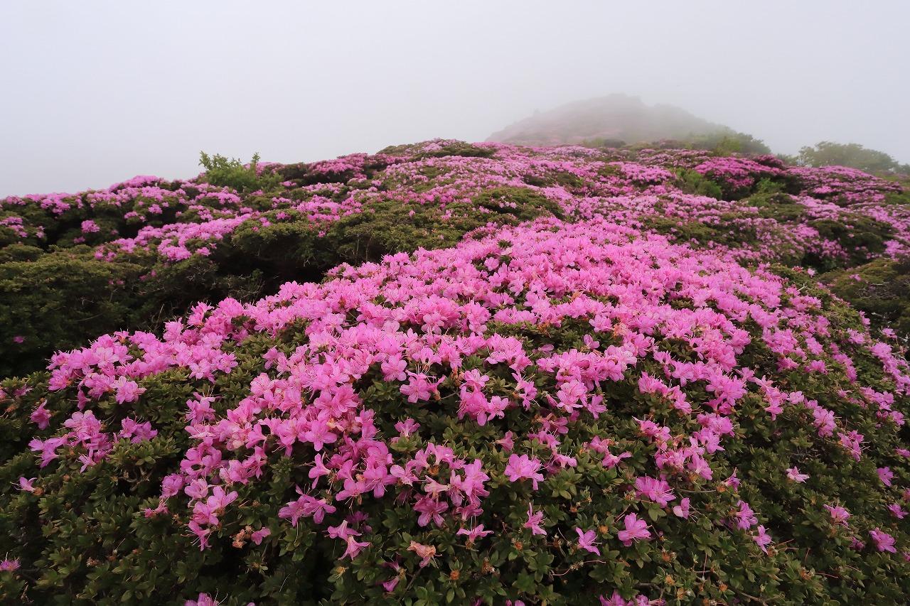 平治岳ミヤマキリシマIMG_2742