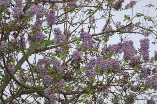 190426047 キリの花、満開(鵲)
