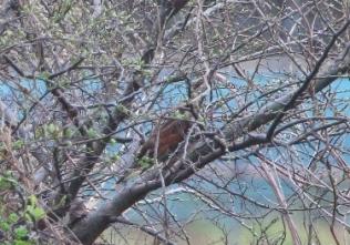 190426019 ツグミ(鵲)