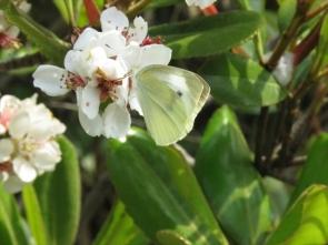 190512003 シャリンバイの花と蝶