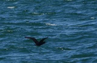 190522034 海面スレスレを飛ぶカワウ