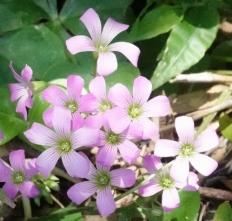 190522022 ムラサキカタバミの花