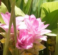190522021 ウコンの花