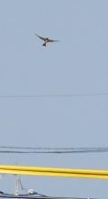 190522013 スズメの飛翔