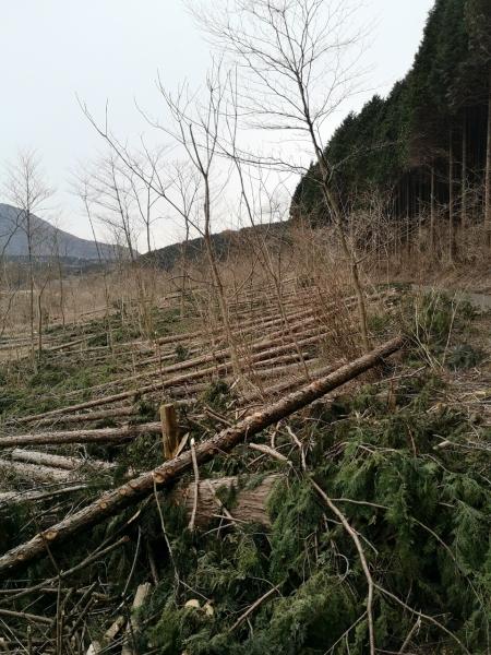 仙石原伐採