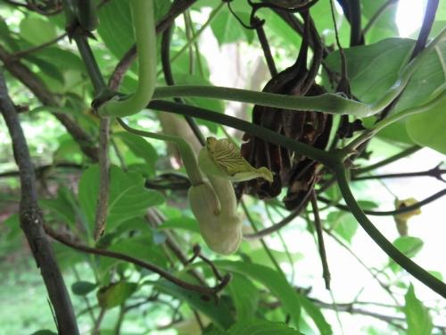 オオバウマノスズクサの花 VC190614
