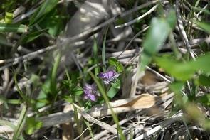 ヒメハギ黒岳5月