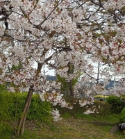 small sakura