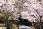 紀伊風土記の丘の桜