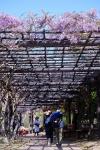 四季の郷公園の藤棚