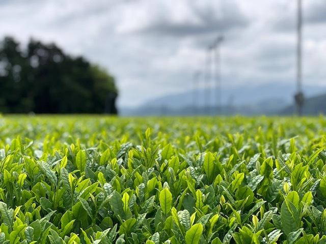 2019土山茶