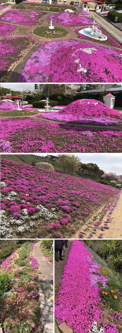 20190412芝桜2