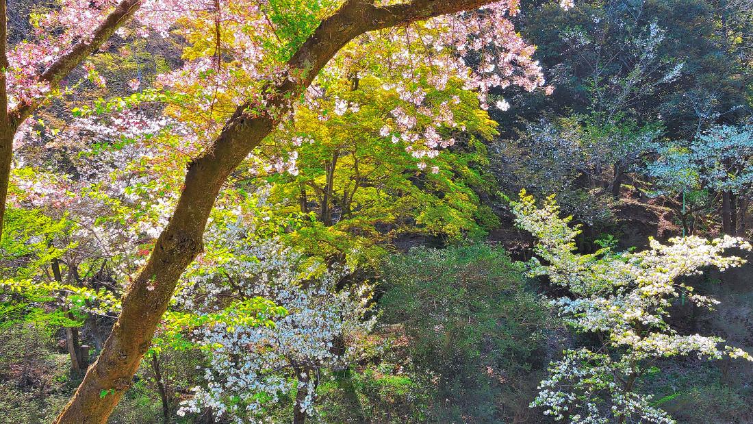 20190416azumasakura (3)