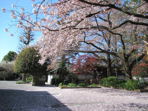 井口院の桜