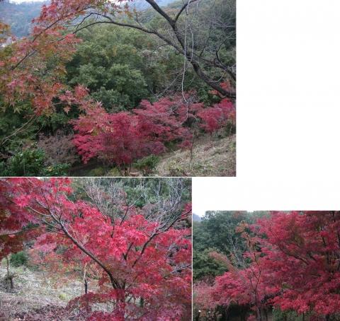 織姫山のもみじ谷(2014年11月)連結その4