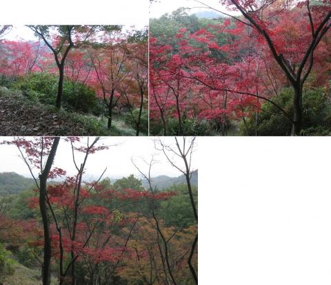 織姫山のもみじ谷(2014年11月)その12