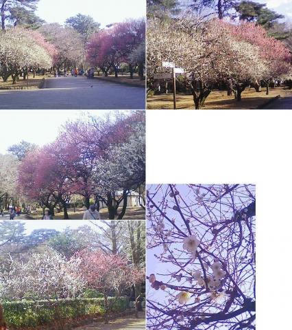 大宮公園の梅園(連結その3)