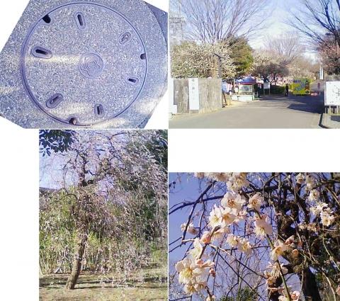 大宮公園の梅園(その4)