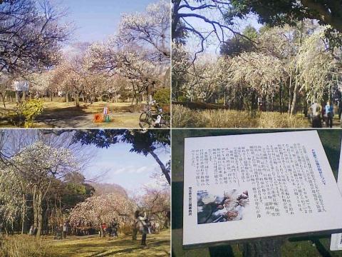 大宮公園の梅園(その10)