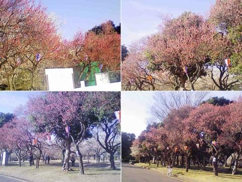 大宮公園の梅園(その9)