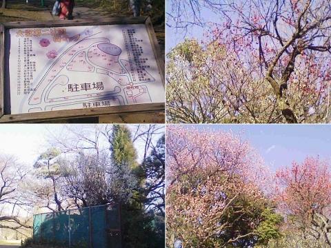 大宮公園の梅園(その8)
