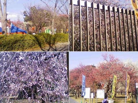 大宮公園の梅園(その6)