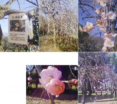 大宮公園の梅園(その13)