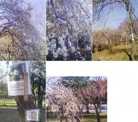 大宮公園の梅園(その12)