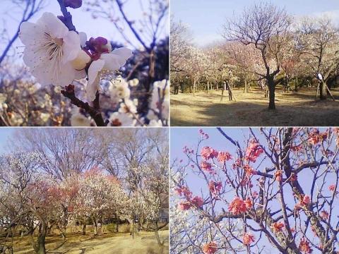 大宮公園の梅園(その20)