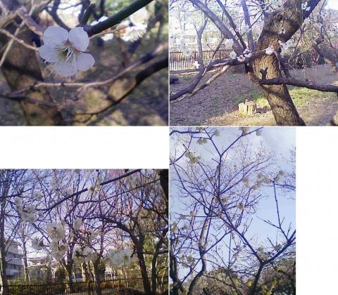 大宮公園の梅園(その17)