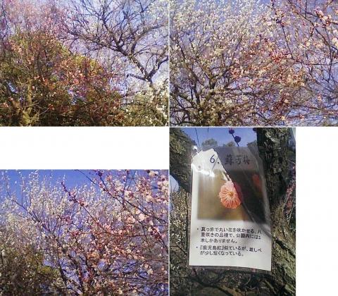 大宮公園の梅園(その23)