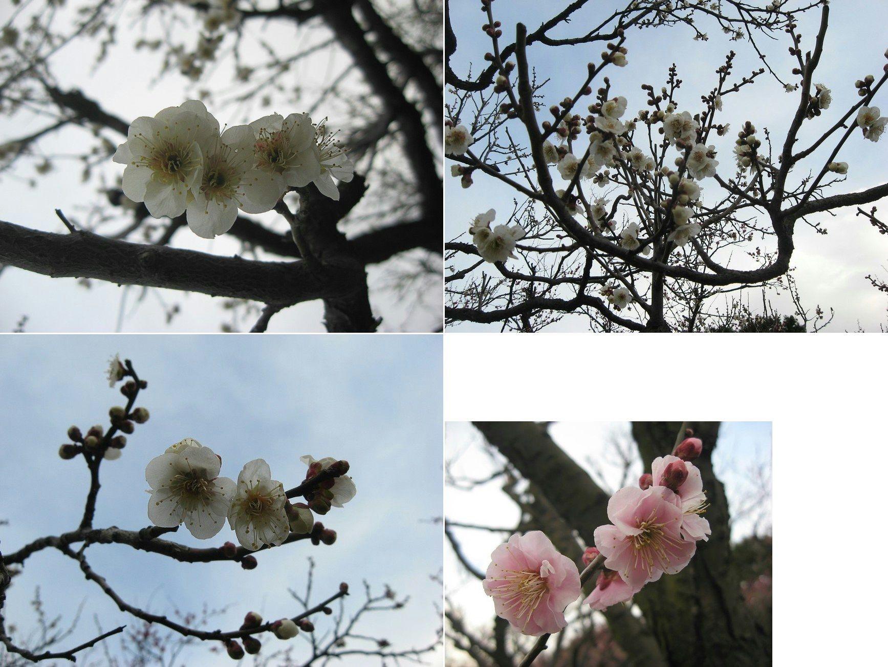 kiryu_ume2016_16.jpg