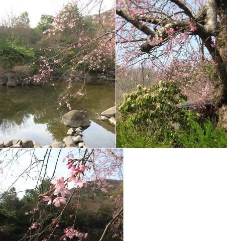 mikamo_sakura2014_04