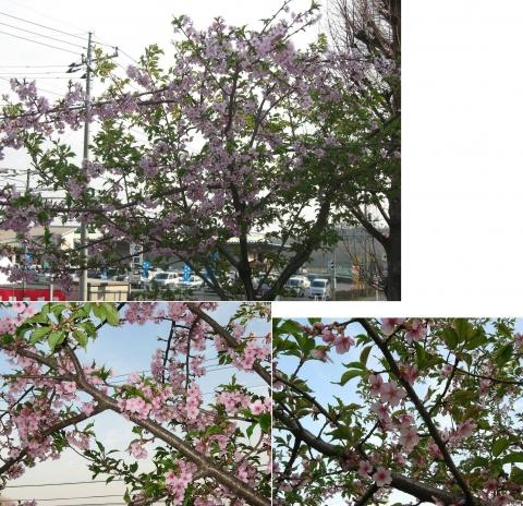 mikamo_sakura2014_16