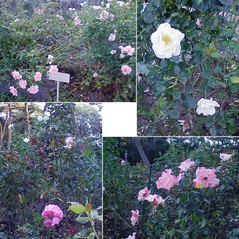 mooka_rose2012_01