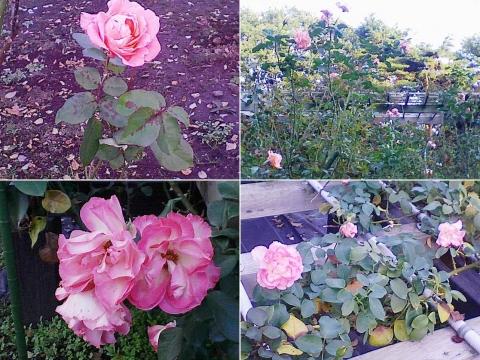 mooka_rose2012_03