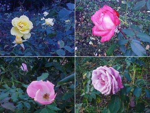 mooka_rose2012_05