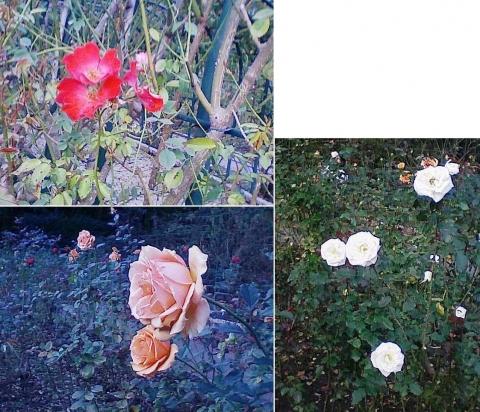 mooka_rose2012_06