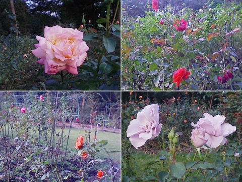 mooka_rose2012_08
