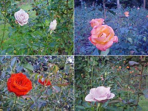 mooka_rose2012_09