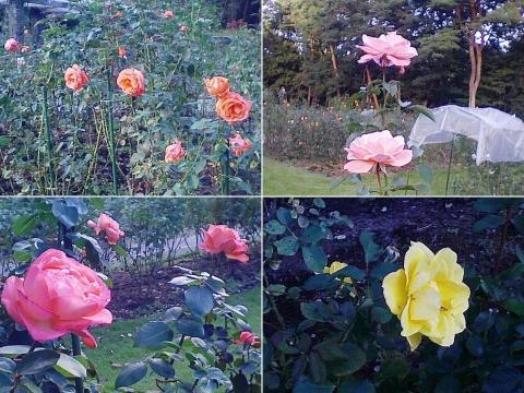 mooka_rose2012_10