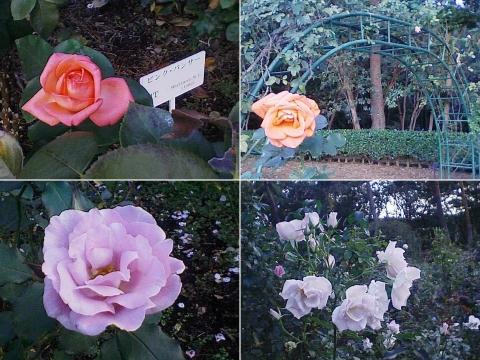 mooka_rose2012_11