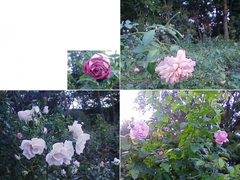 mooka_rose2012_12